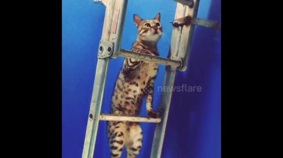 Newsflare - Naughty Bengal cat climbing up ladder