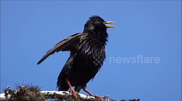 starling song download