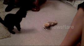 Newsflare - Kitten vs Bearded Dragon