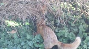Urban fox cubs playing in Portsmouth car park