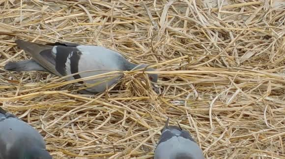 Newsflare - This Pigeon Are Digging The Garbage And Eating There