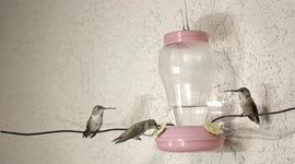 Newsflare - Hummingbirds battle it out at feeder 240fps slow