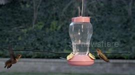 Newsflare - Nasty Hummingbird battle male vs male 240fps
