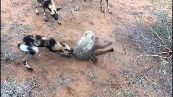 Newsflare African Wild Dogs Launch Relentless Attack On Baby Hyena