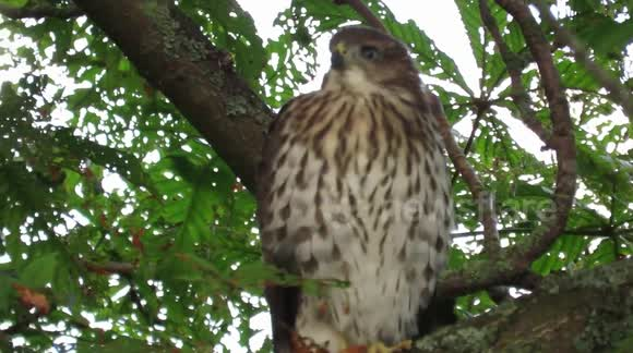Newsflare - Baby Cooper's hawk calling out