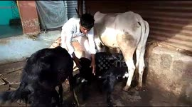 Newsflare - Woman Milking a cow by hand