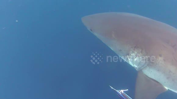 Newsflare - Great White Shark buzzes Diver at Ship Rock (Catalina