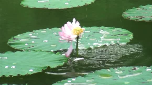 Newsflare rare footage of carp eating lotus captured in southern china mightylinksfo