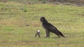 Newsflare - Red-Tailed Hawk Catches Squirrel
