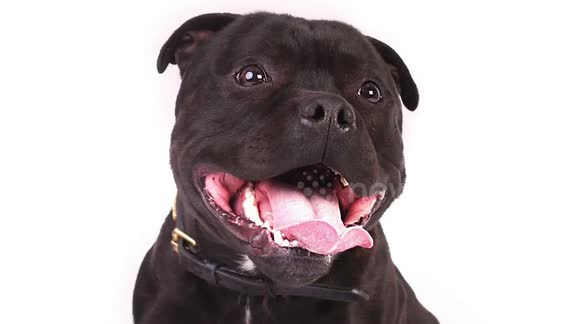 Newsflare - NEVER TRUST A STAFFORDSHIRE BULL TERRIER