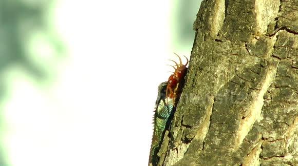 Newsflare - Chameleon eating giant centipede