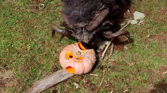 Angry sheep headbutts pumpkin piñata