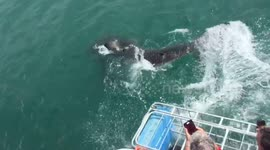 Newsflare - Excited tourists scream as big shark chews on cage