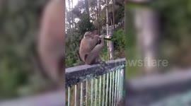Newsflare - Cheeky monkey chugs a beer
