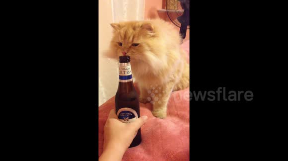 Newsflare - Curious cat wants to try her first taste of beer