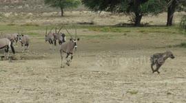 Newsflare - Hippo Vs hyena clan