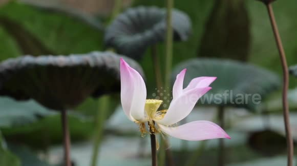 Newsflare The Last Petals Fall From A Lotus Flower In A Strong