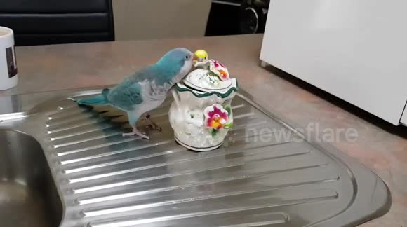 Newsflare - Naughty Quaker Parrot and his Budgie accomplice