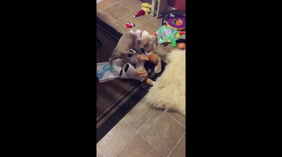 Newsflare - Lemon Beagle puppy playing with her stuffed toy