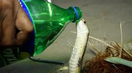 Newsflare - Snake-catcher pulls deadly king cobra from motor