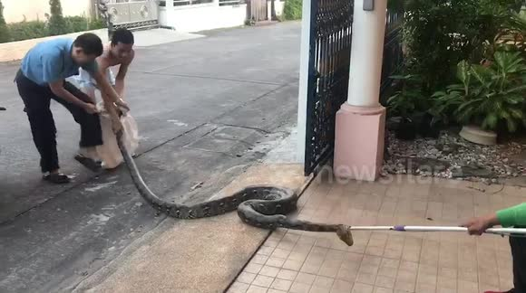 Newsflare - Large python caught in woman's front yard