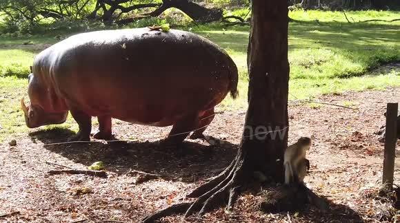 Newsflare - Hippo does huge explosive fart in Kenya, slow-mo