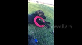 Newsflare Cocker Spaniel Puppy Tangles Himself In Frisbee