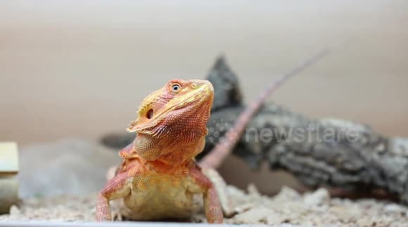 Newsflare - Bearded Dragon eating a fruit beetle grub for the first