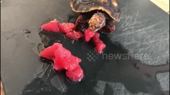 Newsflare - Turtle eating tomato