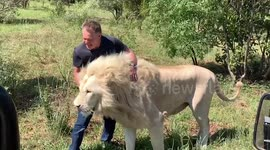 Newsflare - South African farmers use lions as security guards