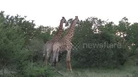 Newsflare - Zebra mating, During our Durban day safari tour