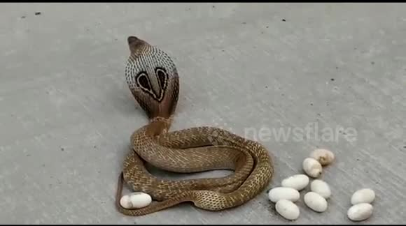 Newsflare - Pregnant cobra lays eggs on busy road in southern India