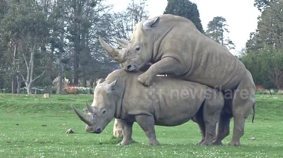 Newsflare - Mating rhinos shock visitors at UK wildlife park