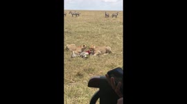 Newsflare - Zebra mum protects three-week-old foal while it