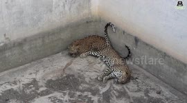 Newsflare - Wildlife SOS team rescue leopard trapped in 50