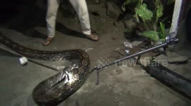 Newsflare - Woman eaten alive by PYTHON in Indonesia