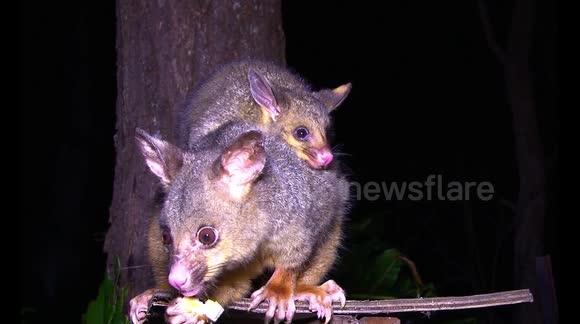Newsflare - Feeding Baby Possum