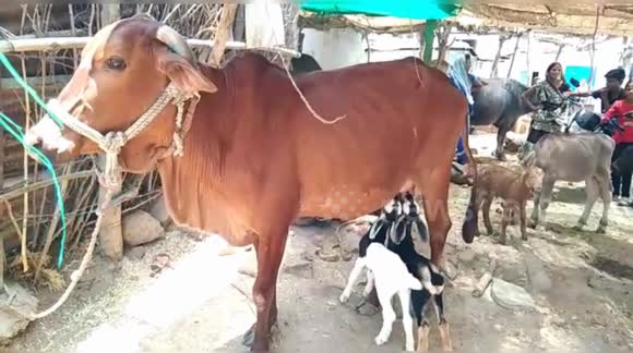 Newsflare - Mother cow adpots two goat kids & feeds her with