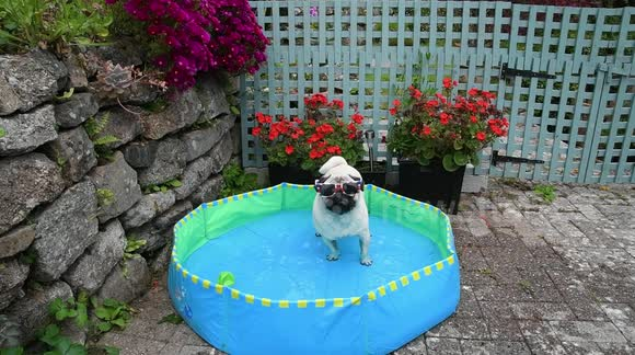 Newsflare - Pug keeps cool in the UK in paddling pool