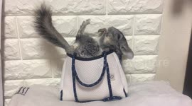 Newsflare - Funny Chinchilla in Pet Store!
