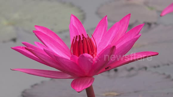 Newsflare A Relaxing Video Of A Honey Bee Visiting A Pink Lotus