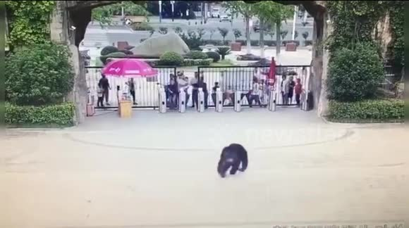 3b82d0fe10f Police catch runaway chimpanzee who escaped from its enclosure in Chinese  zoo