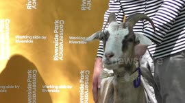 Newsflare - Are you kidding? 118 goats descend on our