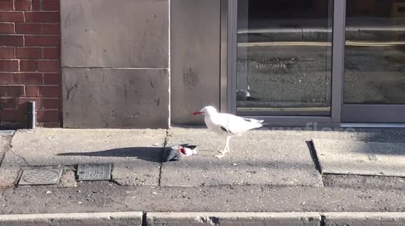 Newsflare - A huge seagull eating a pigeon