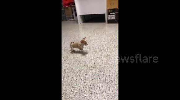 Newsflare - Chihuahua