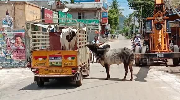 TN Vice CM Panneer Selvam Family Unites Ox & Cow