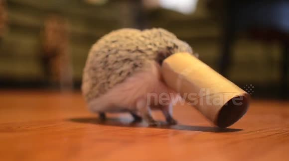 Hedgehog gets stuck in cardboard tube