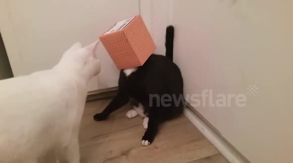 Cat gets head stuck in tissue box