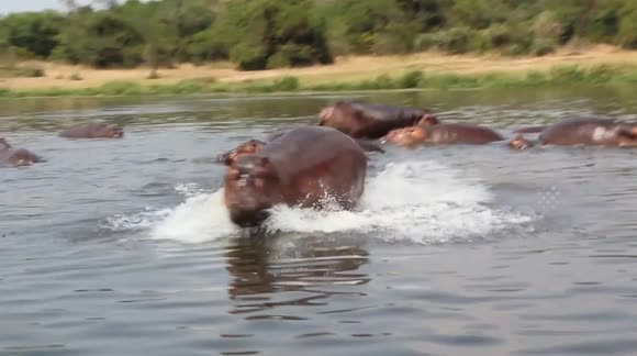 Newsflare - Hippo chases after passing boat