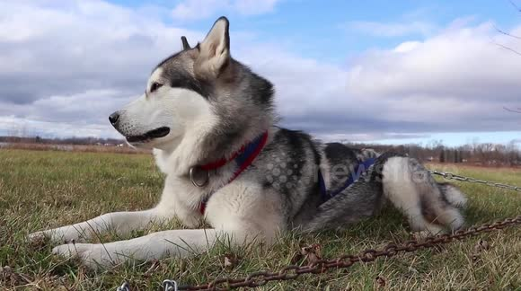 Newsflare British Man Now Living In Canada Trains For His First 2 1 Km Scooter Race With Alaskan Malamutes Sojou And Klondike Adorable alaskan malamute playing with kids | dog loves baby compilation ▯ link video: british man now living in canada trains